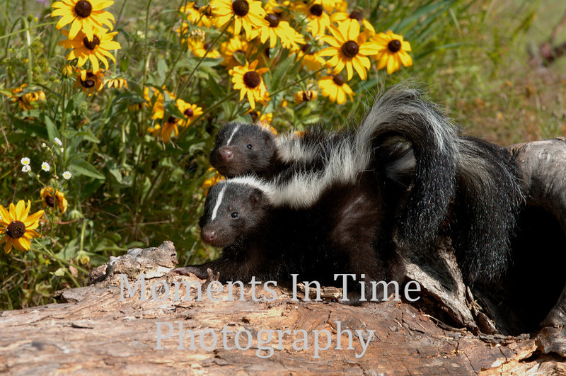 Two skunks with flowers