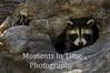 Raccoon in log hole