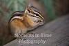 Chipmunk uinta (Neotamias umbrinus montanus)