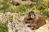 Marmot sitting on rock head turned