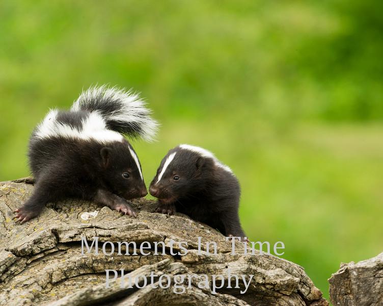 skunk striped ( Mephitis mephitis)