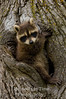 Young raccoon on tree V