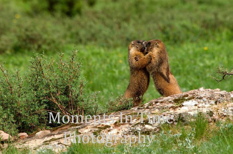 Marmot play