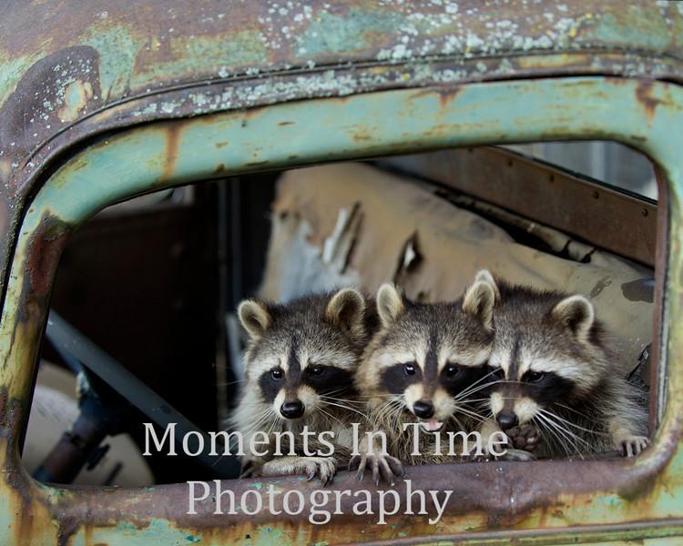 Raccoon trio in window