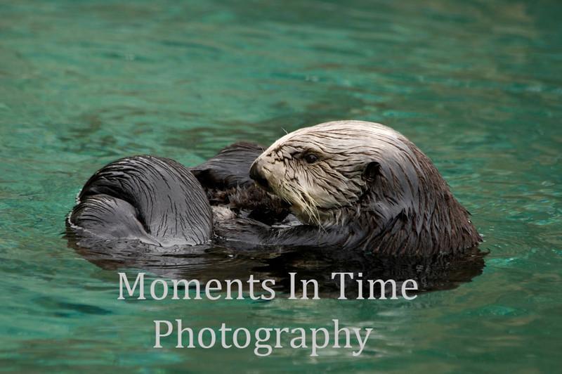 Sea Otter curled