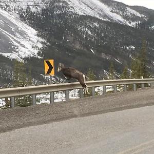 Animals - Not Alaskan