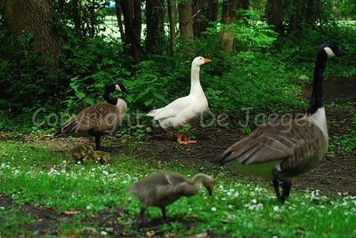 A goose and some ducks with their chicks.