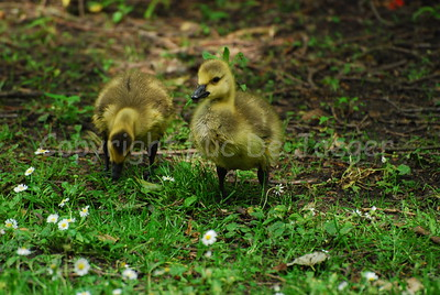 Some chicks eating grass.