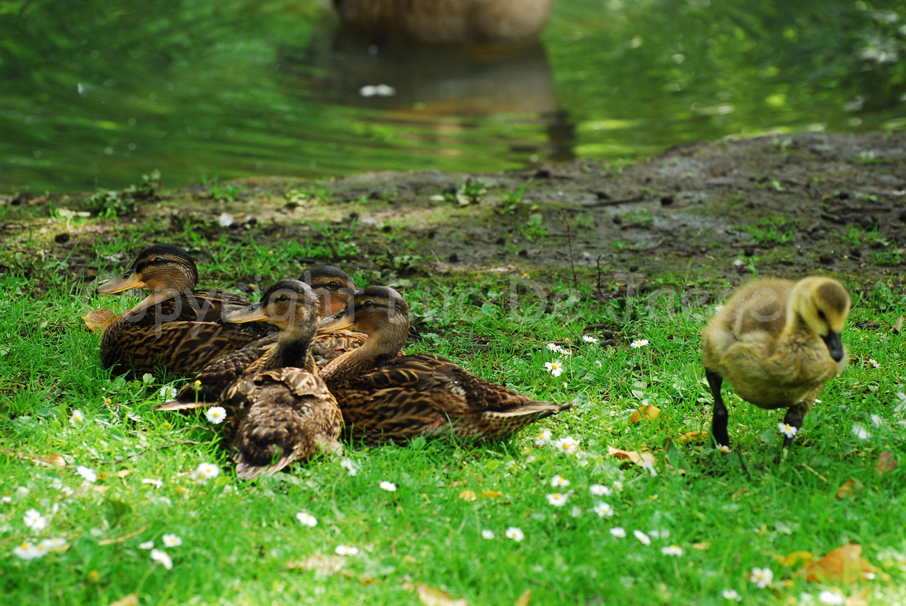 Some ducks and a chick in the grass.