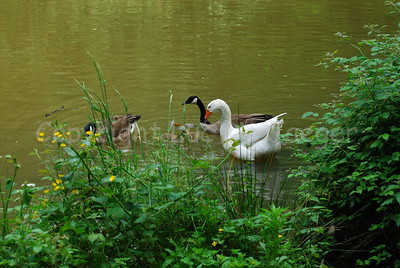 A goose, two ducks and some chicks together.