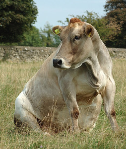 05 May Sitting Cow 4.5 x 5.313 300 dpi-2.jpg