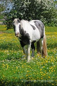 Minch Common Horse 4 x 6 300 dpi 8734 Watermark Copyright.jpg