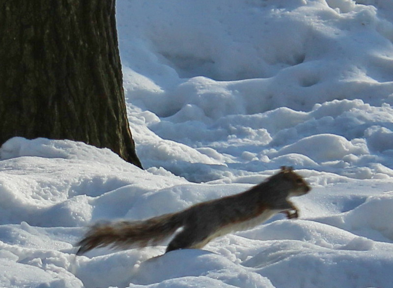 Squirrel in Central Park in Winter