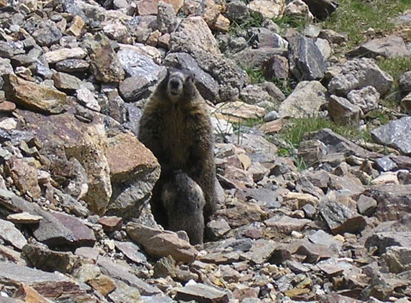 Marmot in the Rockies
