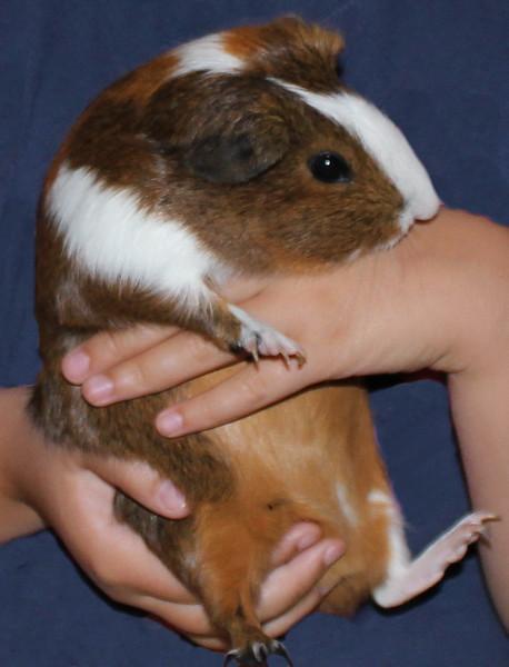 Pet Guinea Pig