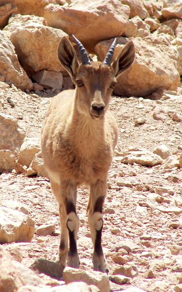 Ibex Cub