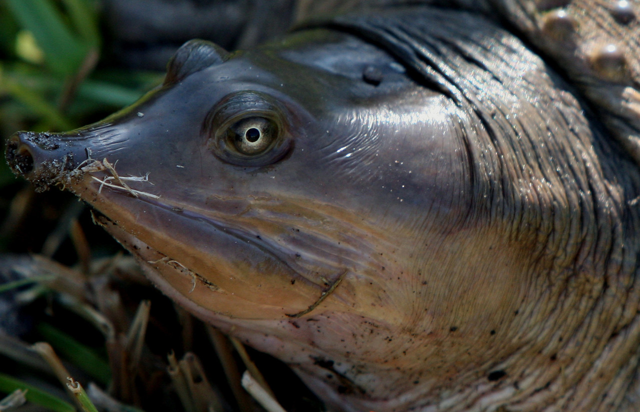 Soft Shell Turtle<br /> <br /> Venice, Florida<br /> <br /> 2009