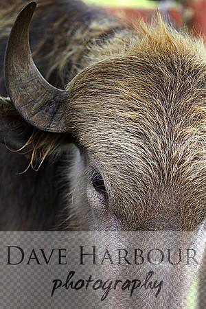 Buffalo, Water (Agua Bufalo), Targi, Ecuador, Yurakallpa Zoo