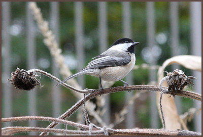 IMG_0154 Little Chickadee