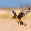 Northern Harrier, Fir Island, Wa
