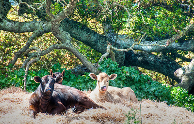 contented-cows-2