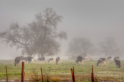 cows-grazing-fog