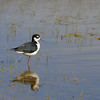 Black-Necked Stilt, Eastern WA