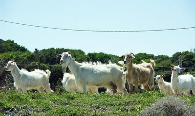 greek-goats