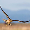 Northern Harrier, Fir Island, Wa