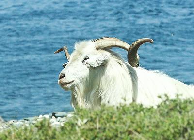 male-goat