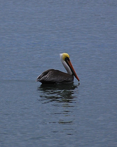 pelican-ocean
