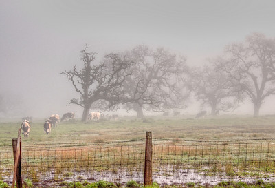 cows-grazing-fog-2