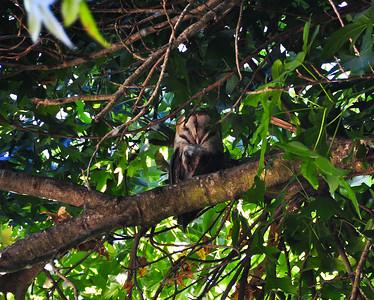 owl-tree