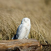 Snowy Owl, Ocean Shores, WA