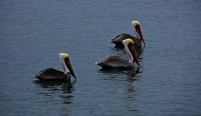 pelicans-water