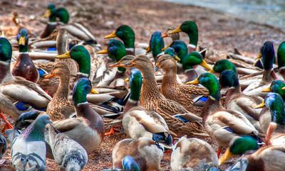 hungry-ducks
