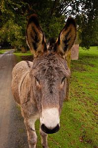 donkey-ears