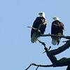 Eagles, Deception Pass 03.10