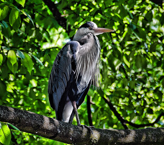 blue-heron-