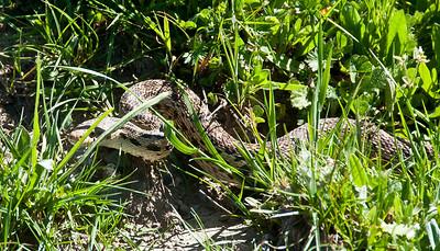big-reptile-snake