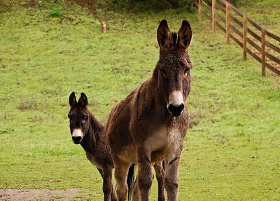 donkeys-stare