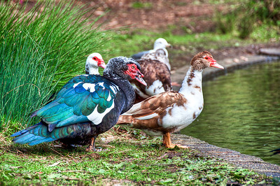 colorful-ducks