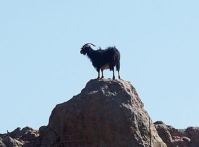 king-goat