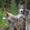 Wolves, Northwest Trek, Wa