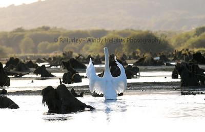 Swan Lake. WHP_0223 Gearagh, Macroom