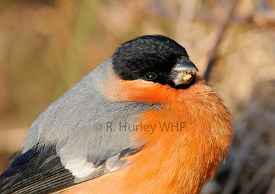Male Bullfinch feeding by hedgerow West Cork  Photography by Richard Hurley