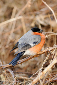Male Bullfinch by hedgerow West Cork  Photography by Richard Hurley