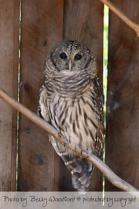 Owl, Maine Wildlife Park