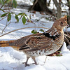 Pennsylvania Grouse
