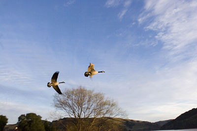 In Flight !  San Pablo Reservoir California, USA